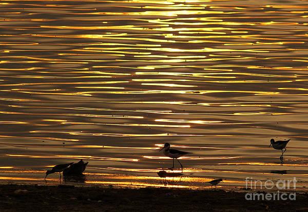 Photograph - Birds Walking In Gold Water Waves by John  Kolenberg