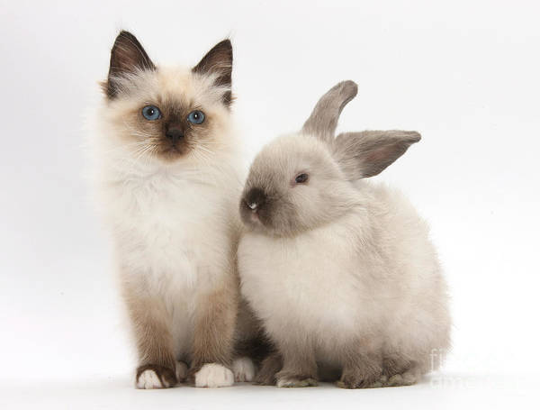 Photograph - Birman-cross Kitten And Young by Mark Taylor