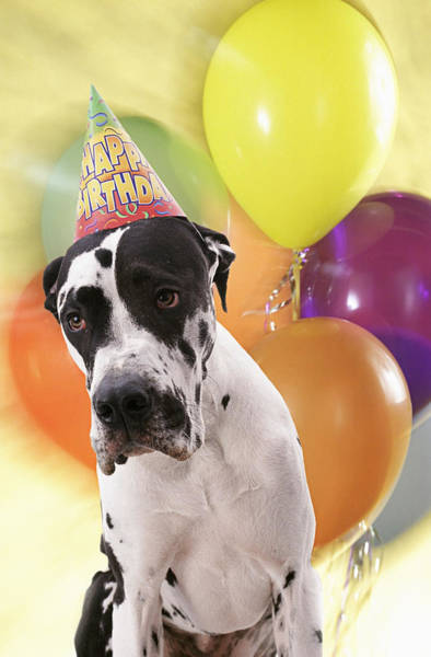 Great Dane Photograph - Birthday Party For Great Dane Dog by Gabe Palmer