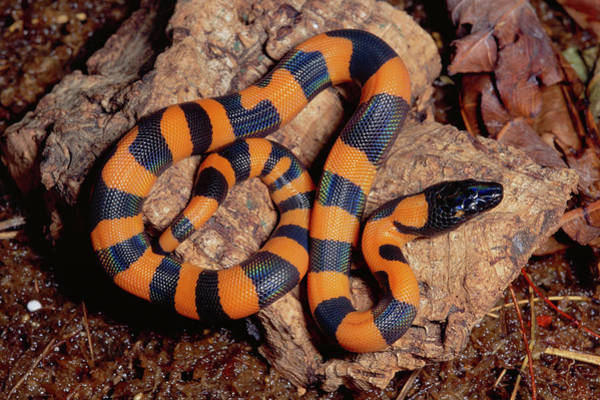 Photograph - Bismarck Ringed Python Liasis Boa by Michael & Patricia Fogden