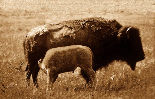 Lee Filters Wall Art - Photograph - Bison And Calf by David Lee Thompson