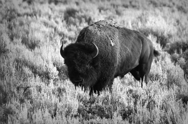 Photograph - Bison In Black And White by Sebastian Musial