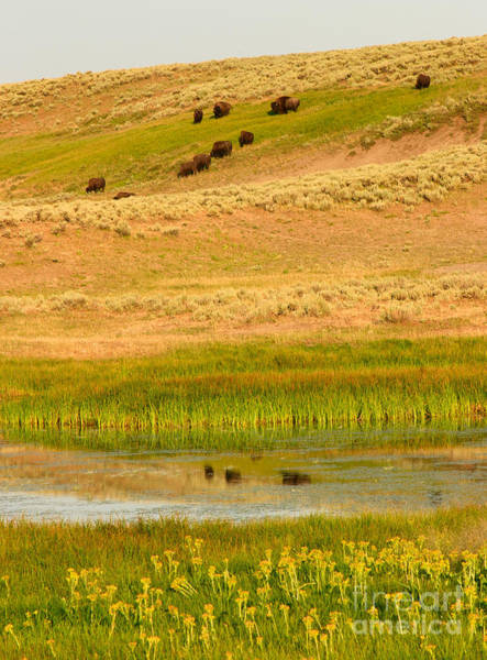 Photograph - Bison Reflections And Wildflowers by Charles Kozierok
