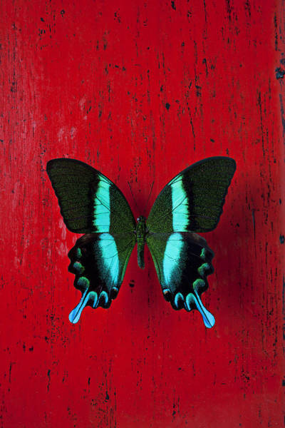 Wall Art - Photograph - Black And Blue Butterfly  by Garry Gay