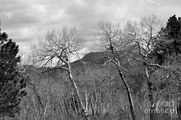 Photograph - Black And White Aspen by Dorrene BrownButterfield
