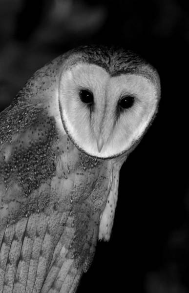 Wall Art - Photograph - Black And White Barn Owl by Bruce J Robinson