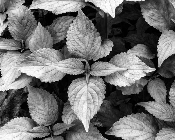 Photograph - Black And White Coleus by Dennis Dame
