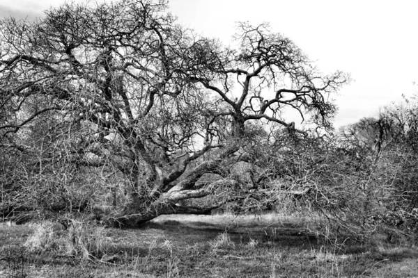 Wall Art - Photograph - Black And White Oak Tree by Sally Bauer