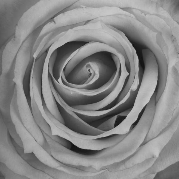 Photograph - Black And White Spiral Rose Petals by James BO Insogna