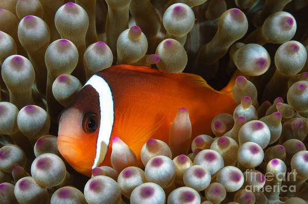 Amphiprion Melanopus Photograph - Black Anemonefish, Fiji by Todd Winner
