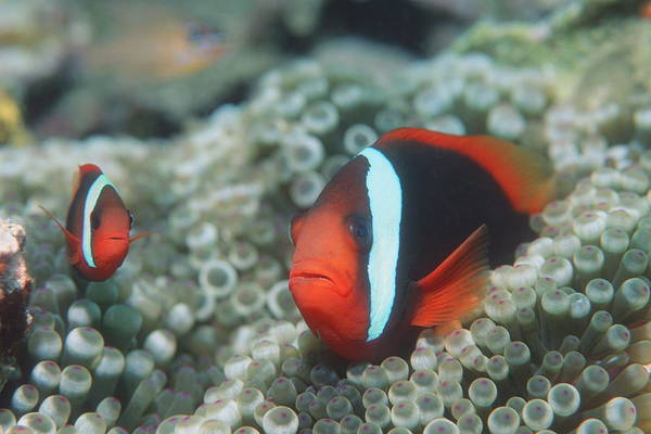 Amphiprion Melanopus Photograph - Black Anemonefish by Georgette Douwma