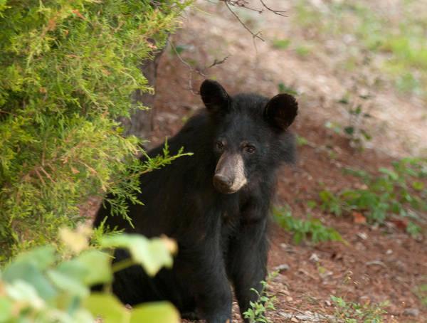 Photograph - Black Bear Cub by Lara Ellis