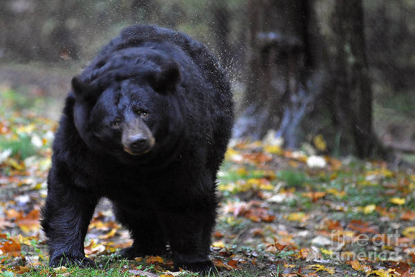 Photograph - Black Bear Shaking Water Off by Dan Friend