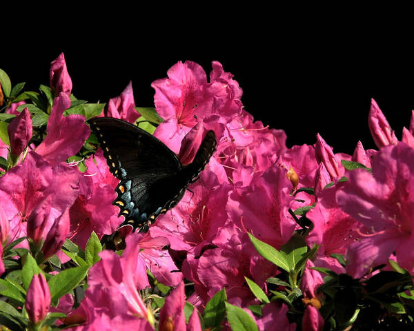 Photograph - Black Beauty In Flight by Peg Urban