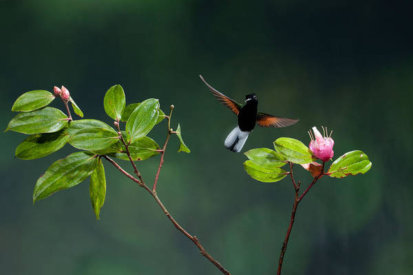 Black Bellied Hummingbird Art Print