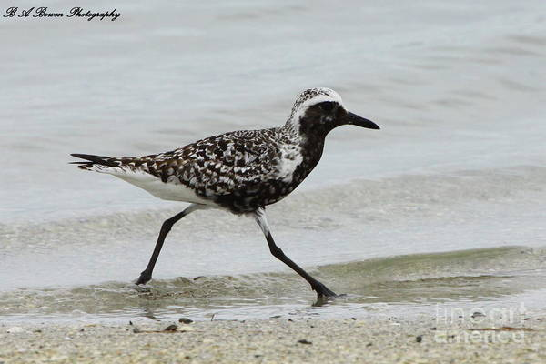 Photograph - Black Bellied Plover by Barbara Bowen