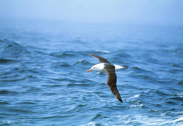 Waved Albatross Wall Art - Photograph - Black-browed Albatross by Peter Scoones
