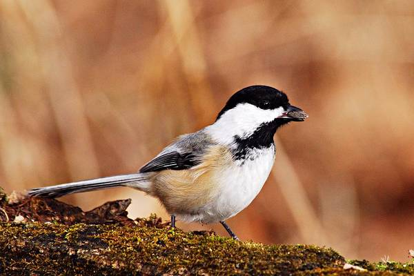 Photograph - Black-capped Chickadee by Larry Ricker