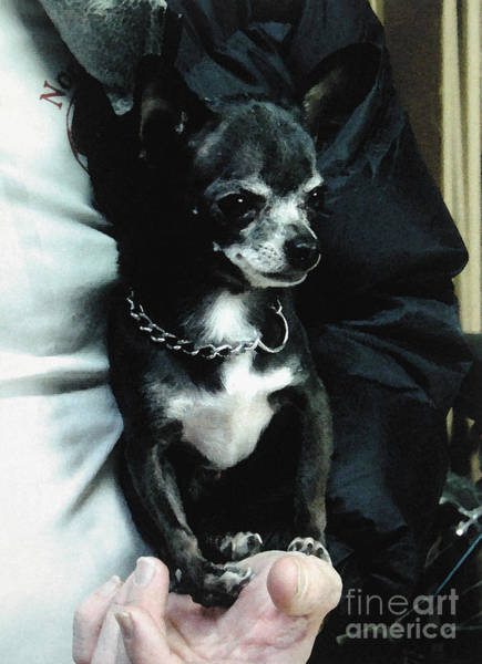 Photograph - Black Chihuahua In The Coat by Christopher Shellhammer