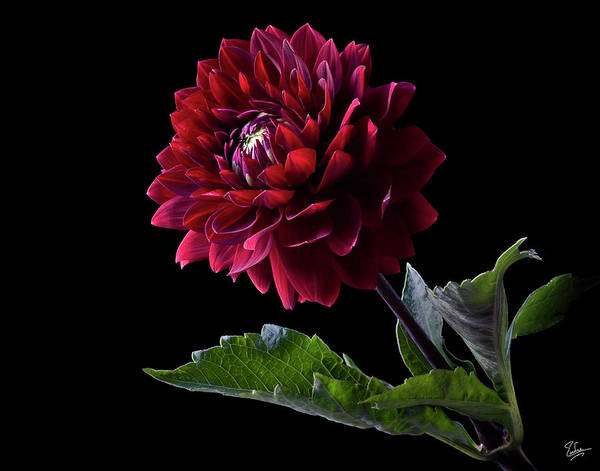 Photograph - Black Dahlia by Endre Balogh