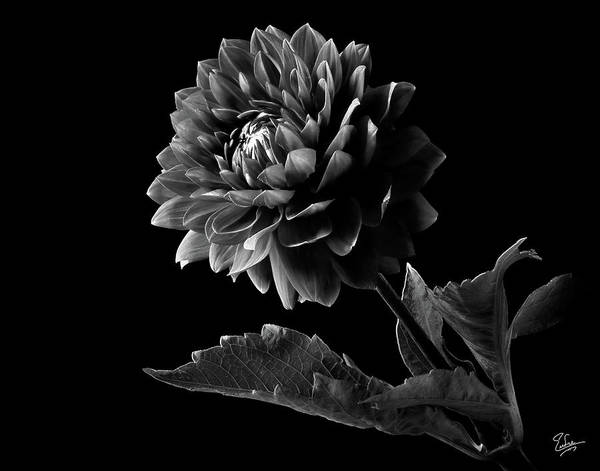 Photograph - Black Dahlia In Black And White by Endre Balogh
