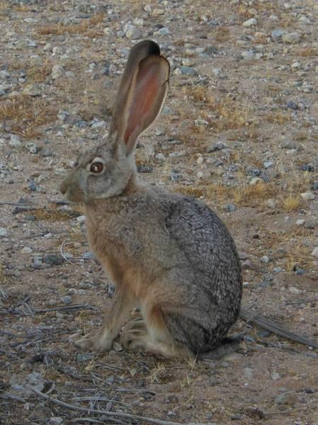 Black Eared Jack Rabbit Art Print