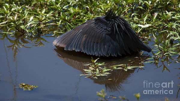 Photograph - Black Egret by Mareko Marciniak