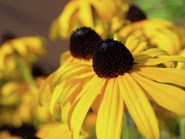 Photograph - Black-eyed Susan - 1 by Jeffrey Peterson