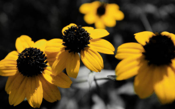 Photograph - Black Eyed Susan by Scott Hovind