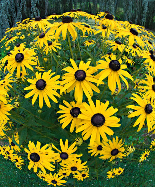 Photograph - Black Eyed Susans by Steve Zimic