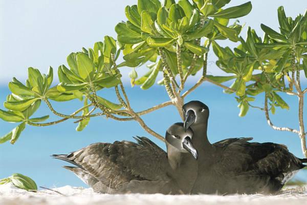 Photograph - Black-footed Albatross Phoebastria by Tui De Roy