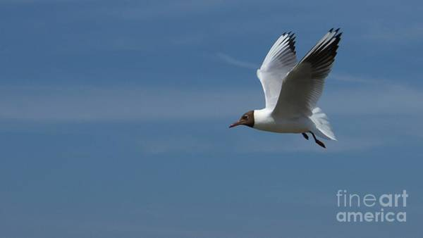 Photograph - Black-headed Gull by Mareko Marciniak