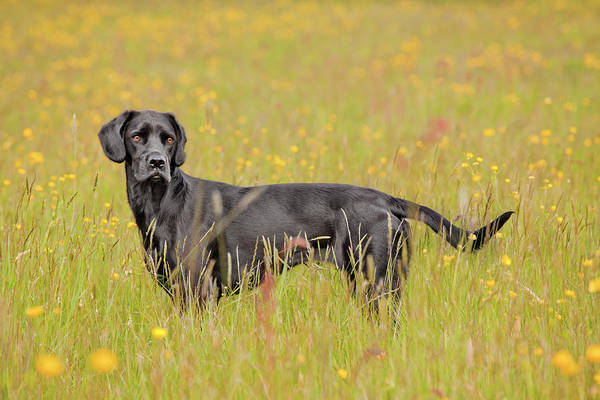 Wall Art - Photograph - Black Labrador Dog Standing In A Buttercup Meadow by Juliet White