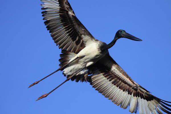 Wall Art - Photograph - Black-necked Stork by Bruce J Robinson