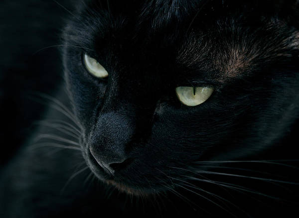 Black Cats Photograph - Black Panther by Laura Melis