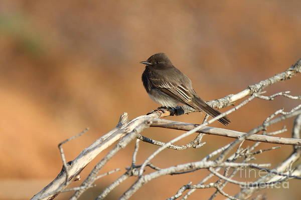 Photograph - Black Phoebe . 7d11008 by Wingsdomain Art and Photography