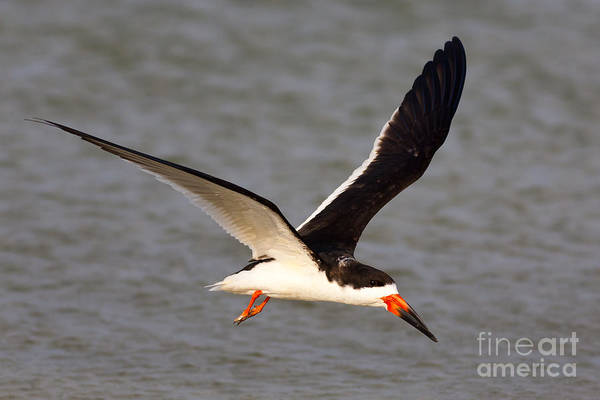 Photograph - Black Skimmer I by Clarence Holmes