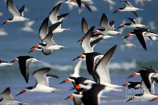Photograph - Black Skimmers Flock by Clarence Holmes