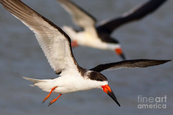 Photograph - Black Skimmers Flying by Clarence Holmes