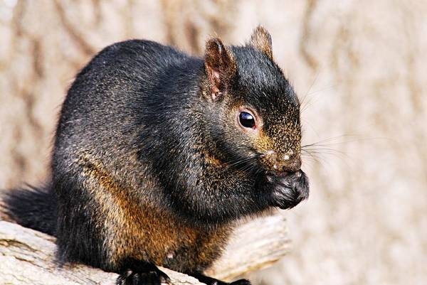 Photograph - Black Squirrel by Larry Ricker