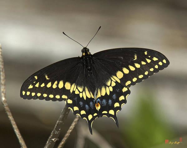 Photograph - Black Swallowtail Din103 by Gerry Gantt