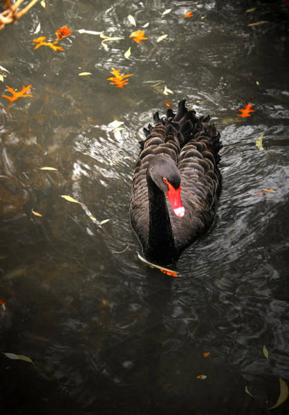 Photograph - Black Swan by Emanuel Tanjala