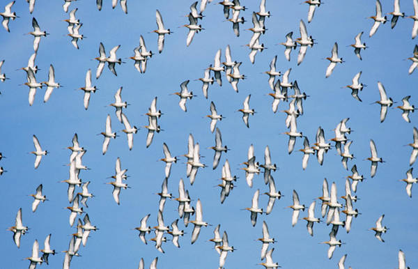 Scolopacidae Photograph - Black-tailed Godwit Limosa Limosa Flock by Frits Van Daalen