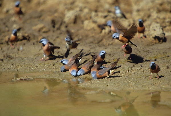 Wall Art - Photograph - Black-throated Finches At Waterhole by Bruce J Robinson