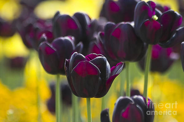 Photograph - Black Tulips In Yellow by Heiko Koehrer-Wagner