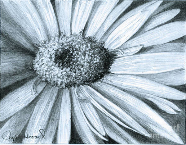 Drawing - Black White Gerber by Phyllis Howard