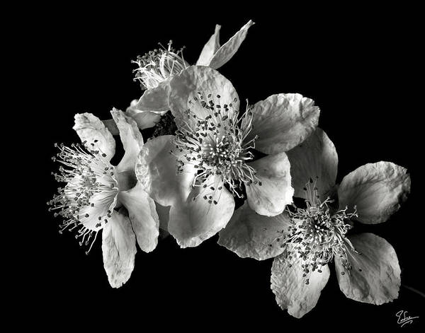 Photograph - Blackberry Flowers In Black And White by Endre Balogh