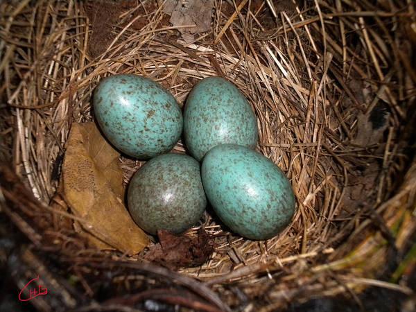 Photograph - Blackbird Mums Eggs by Colette V Hera  Guggenheim