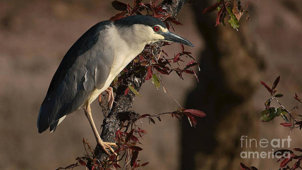 Photograph - Blackcrowned Night Heron by Mareko Marciniak