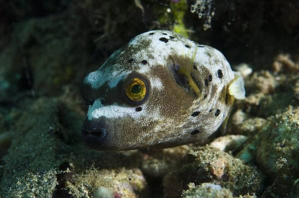 Balloonfish Photograph - Blackspotted Puffer by Matthew Oldfield